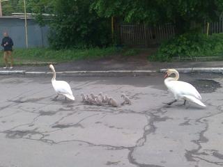 Як у Тульчині лебедина родина містом гуляла